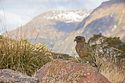 banded kea in Fiordland, New Zealand
