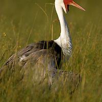 Profile view of a wattled crane (Bugeranus carunculatus) standing in the tall grass, Botswana.