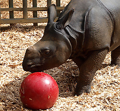 AUG 14 2013 Whipsnade Zoo rhino plays ball