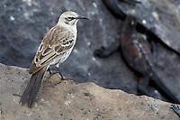 Espanola (Hood) Mockingbird (Mimus macdonaldi), Galapagos Islands, Ecuador