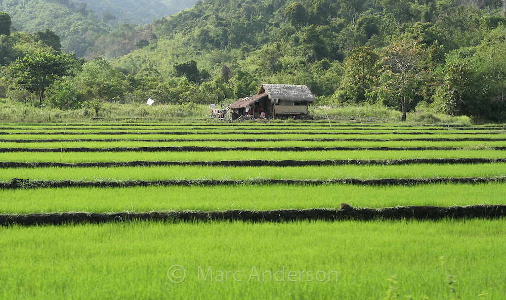 Tiered rice fields, Palwan, Philippines