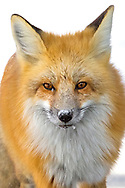 In the northern states, the red fox mating season begins in February. In late January, this vixen and her mate were spotted near their summer densite, leaving me hopeful that I'll see them raising their kits in the same den come spring.