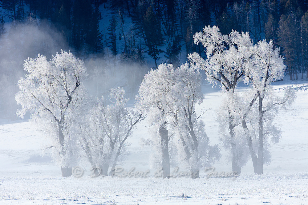 Hoar frost on cottonwood trees in the Lamar Valley of Yellowstone National Park