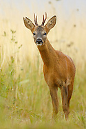 Western Roe Deer (Capreolus capreolus) male in field margin, Norfolk, UK.