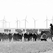 A cowboy herds cattle on a wind farm in Southern Wyoming, USA.