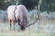 An elk grazing in a field in Yellowstone national park