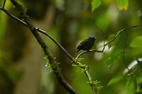 Blue-crowned Manakin (Lepidothrix coronata).Male at a calling perch...Tiputini Biodiversity Station, Amazon Rain Forest, Ecuador.