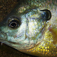 A detail photo of a panfish.