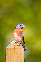 Bluebird on fencepost.