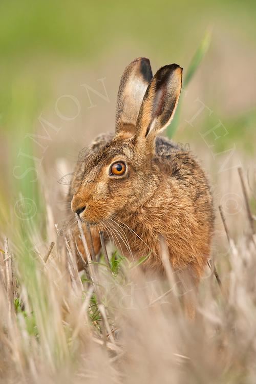 European Hare (Lepus europaeus) adult in set-aside stubble field, Norfolk, UK.