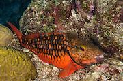 Spotlight Parrotfish Initial Phase (Sparisoma viride)<br /> BONAIRE, Netherlands Antilles, Caribbean<br /> HABITAT &amp; DISTRIBUTION: Reefs from South Florida, Bahamas, Caribbean &amp; Bermuda