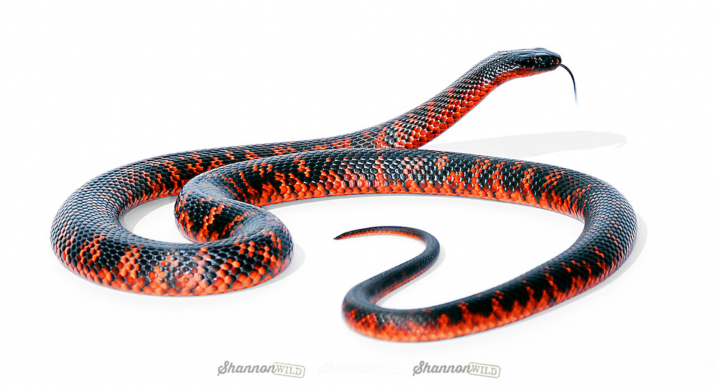 Collett's Snake (Pseudechis colletti) is a member of the Black Snake family and is found in remote areas of central Queensland, Australia.  Highly venomous.