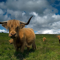 Close up Highland Cow looking at the  camera. Dartmoor, Devon, England.