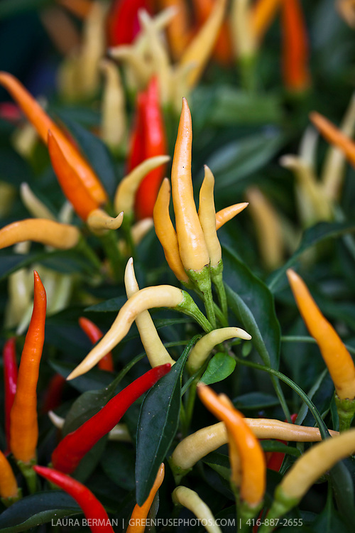 Medusa ornamental pepper (Capsicum annuum 'Medusa'}