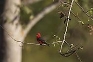 Vermilion Flycatcher (Pyrocephalus rubinus), Pantanal, Brazil