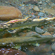 "A male pink salmon, nicknamed ""humpy"" for the hump the males grow during the spawning migration upriver, hangs close to a female in the shallows so that he can fertilize any eggs she lays. This male is literally decomposing while alive, as they don't eat as they migrate and fight to spawn. They are migrating in large numbers up the Dungeness River, one of the steepest in the country, which originates high in the Olympic range."