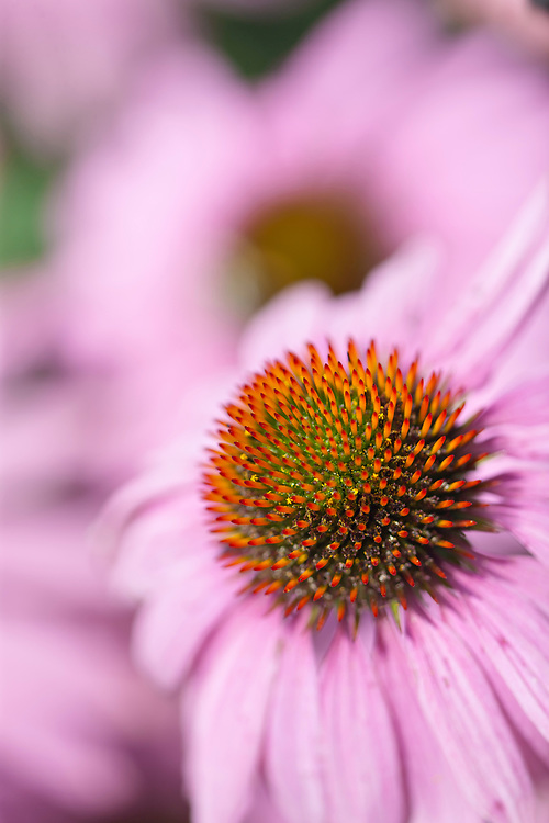 Pink Coneflowers in full bloom