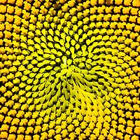 Example of Fibonacci in nature, center of a sunflower
