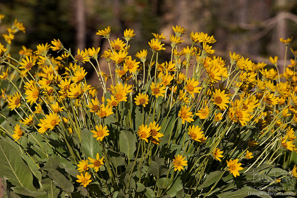 Brittlebush (Encelia farinosa) grows in a dry valley on the eastern side of Lassen Volcanic National Park, California. The wildflower typically blooms from March until May and is common in the Mojave and Colorado deserts as well as dry interior valleys in California.