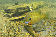 Bluegill (male guarding nest of eggs)<br />