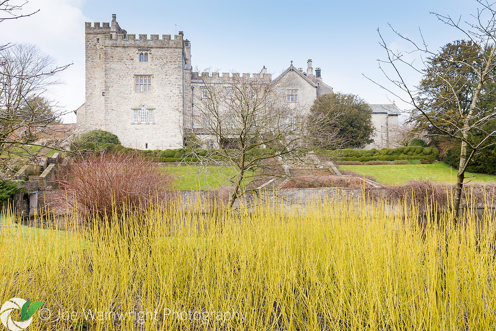 A bed of dogwood brings winter colour to the gardens of Sizergh Castle, Cumbria