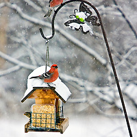 Two Pine Grosbeaks stop during a snowfall on a birdfeeder in the Matanuska Valley in Wasilla, Alaska.