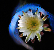 Night blooming Cereus variety cactus flower light painted with the light from a cell phone.