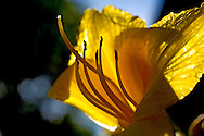 A yellow daylily shines in the afternoon light...