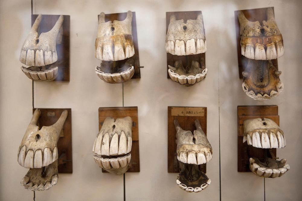 dents de chevaux, école nationale vétérinaire d'alfort, musée fragonard