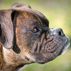 Boxer.  Owner Vicky Decenzo , Pet Portrait Photography