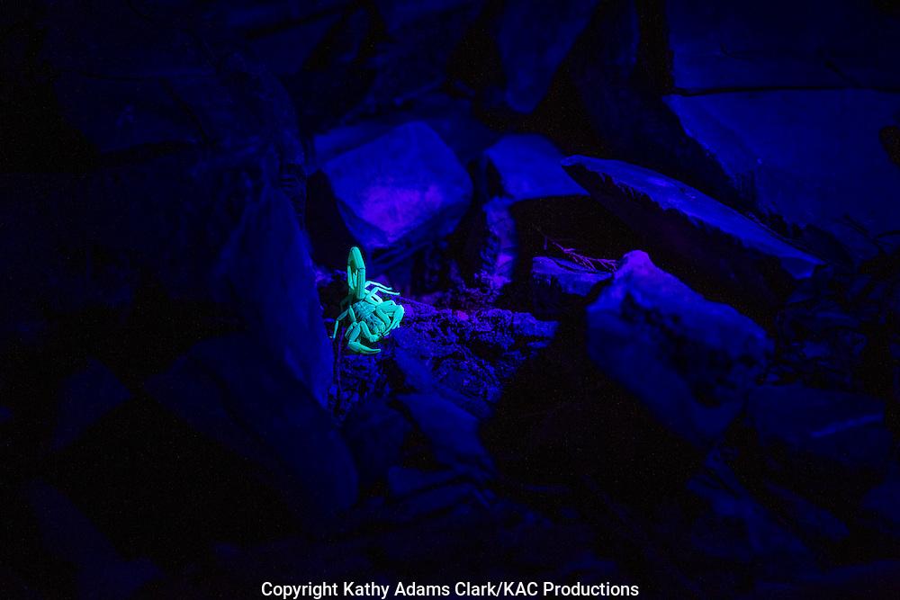 Scorpion, under blacklight, Marathon, Texas, west Texas