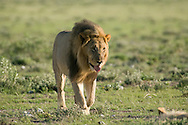 Lion (Panthera leo) - male<br /> AFRICA: Namibia<br /> Etosha National Park; Halali<br /> 3-5.April.2007<br /> J.C. Abbott #2322