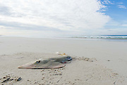 Lesser Guitarfish   caught by line fisher and abandoned on the beach, De Mond Nature Reserve, Western Cape, South Africa