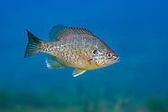 Redear Sunfish, Underwater