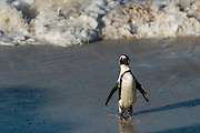 African penguin (Sphenisus demersus) returning to colony<br /> Situated near Simon&rsquo;s Town in False Bay between Fish Hoek and Cape Point.<br /> Western Cape<br /> SOUTH AFRICA