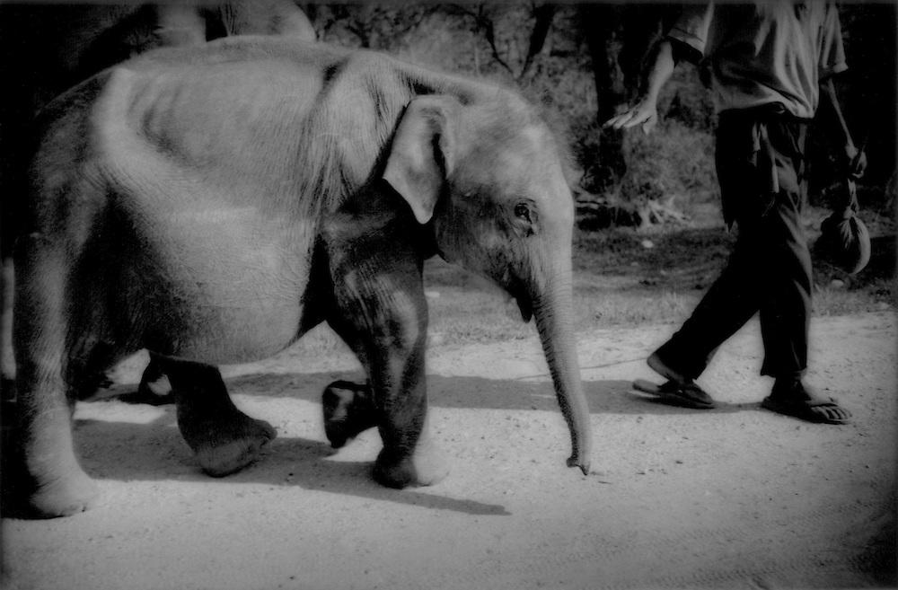 Baby elephant (one and a half years old) undergoes early training, Jaldapara Wildlife Sanctuary, India..