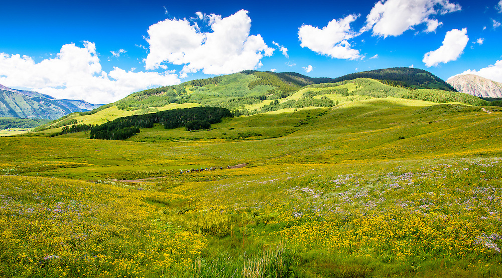 Beautiful wild flowers decorate  the mountain trails  near Crested Butte, Colorado.