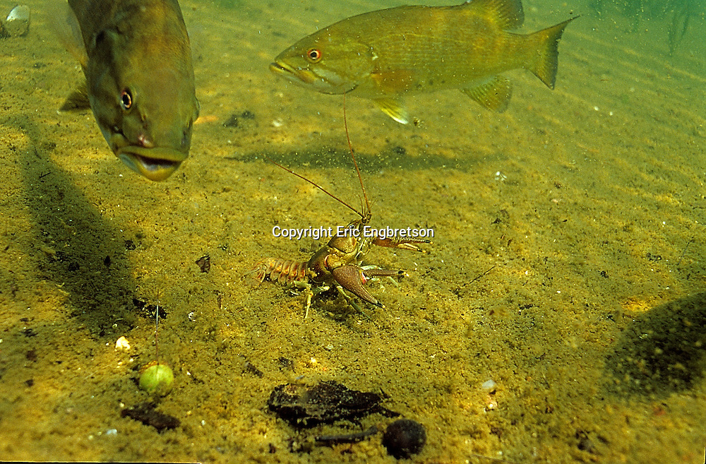 Rusty Crayfish and Smallmouth Bass<br /> <br /> ENGBRETSON UNDERWATER PHOTO