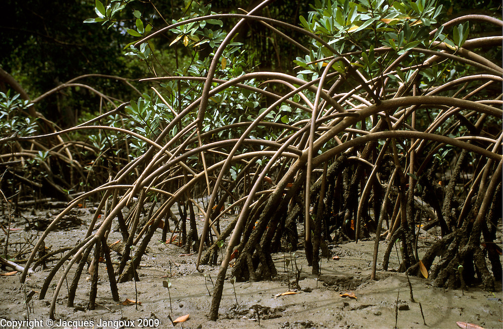 Stilt roots of mangrove tree Rhizophora mangle at low tide at mouth of river, Atlantic coastal vegetation, Para, Brazil