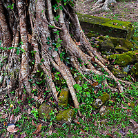 Roots of a tree in the ruins of Angkor Wat