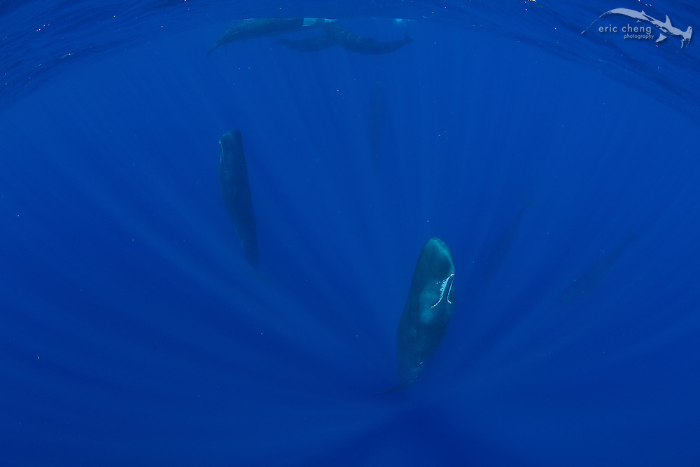Nine sperm whales (Physeter macrocephalus). Three were hanging face up with their eyes closed. Two are hanging face down. Three accompany a small calf in the distance.