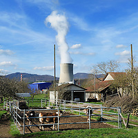 Cows on a small farm close to the G&ouml;sgen Nuclear Power Plant (Kernkraftwerk G&ouml;sgen), with smoke rising from its cooling tower. <br /> The Swiss are due to vote shortly in a referendum whether to quit nuclear power, which via its five reactors, on four sites, provide almost 40% of the country's power