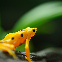 In recent years, conservation biologists have drawn our attention to a worldwide decline in wild populations of frogs, toads, and salamanders - a phenomenon that has come to be called the Global Amphibian Crisis.  While habitat loss is still considered the most serious threat to the majority of species, especially in the humid tropical forest regions of the world, a fungal disease known as chytrid has been identified as being exceptionally deadly to amphibians, while not seeming to affect other groups of vertebrates - fish, reptiles, birds and mammals. A frog-killing fungus in Central and South America spreads in waves like other infectious diseases, challenging a theory that climate change is to blame. El Valle Amphibian Rescue Center in El Valle de Anto?n en Panama?. In response to this need, the Houston Zoo established the Center in central Panama. Atelopus zeteki     .Panamanian Golden Frog.