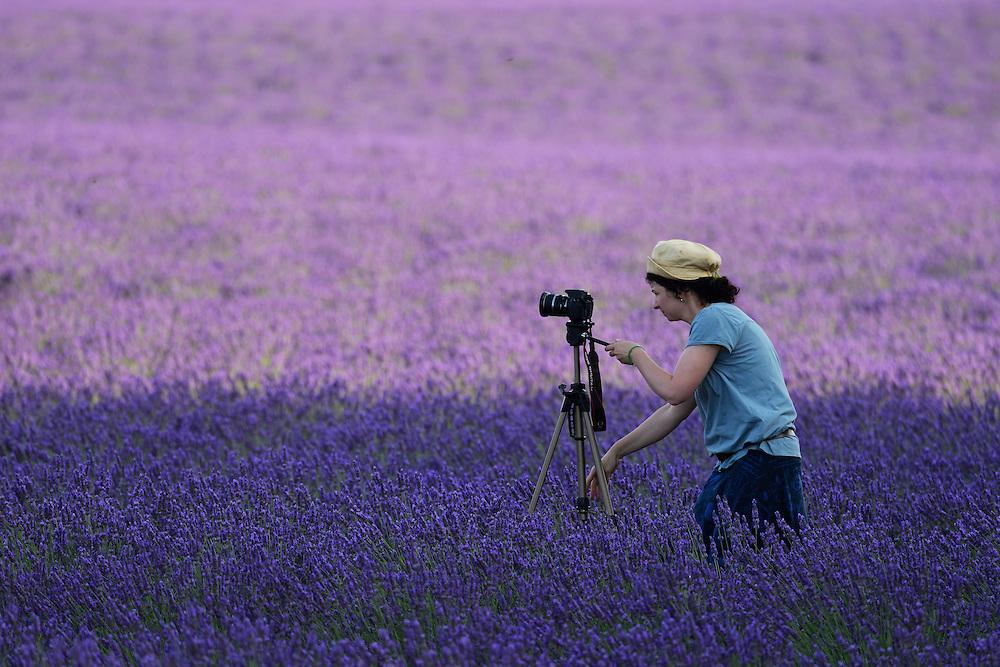Lavender, Valensole,Provence-Alpes-Côte d'Azur,Provence France, Europe