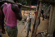 A  Goliath Tigerfish is carried to Balila village after being caught in a bamboo basket in the Lindi River at Balila Falls, DR Congo. The people of Balila employ the same technique of bamboo baskets as those at Wagenia Falls.