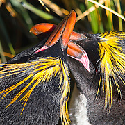 A mating pair of macaroni penguins(Eudyptes chrysolophus) rub beaks above Cooper Bay, South Georgia.