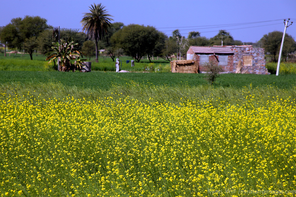 Asia, India, Rajasthan. Field of yellow flowers in Rajasthan.