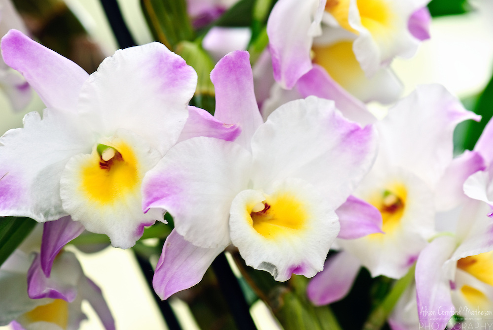 Dendrobium Orchid 'Christina Princess' Keukenhof Spring Tulip Gardens, Lisse, The Netherlands.