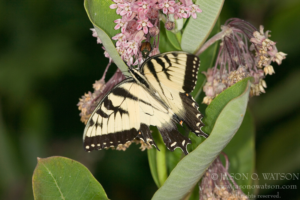 Male Eastern Tiger Swallowtail - Papilio glaucus - Nelson Co, VA.