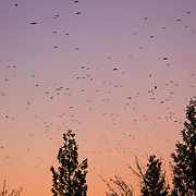 Thousands of American crows (Corvus brachyrhynchos) in a large flock known as a murder fill the twlight sky over North Creek in Bothell, Washington. An estimated 10,000 crows roost in the area each night.